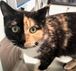A picture of #ET03314: Maida a Domestic Medium Hair calico