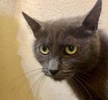 A picture of #ET03315: Nebula a Russian Blue Mix blue