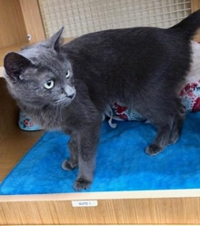 [another picture of Nebula, a Russian Blue Mix blue\ cat]