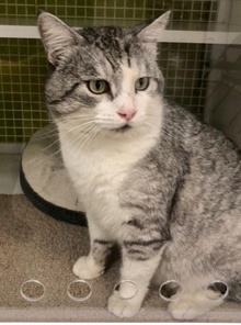 [another picture of Ashton, a Domestic Short Hair silver tabby/white\ cat]