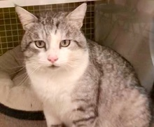 [picture of Ashton, a Domestic Short Hair silver tabby/white\ cat]