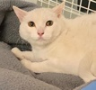 A picture of #ET03318: Zammy a Domestic Short Hair white