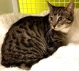 A picture of #ET03319: Zandra a Domestic Short Hair gray tabby/white