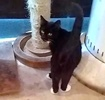 A picture of #ET03321: Zoiee a Domestic Short Hair black/white