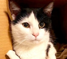 [picture of Charlie, a Domestic Short Hair black/white\ cat]