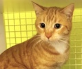 A picture of #ET03323: Bing a Domestic Short Hair orange