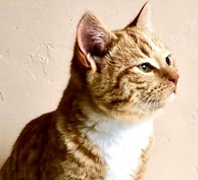 [picture of Luke, a Domestic Medium Hair orange\ cat]