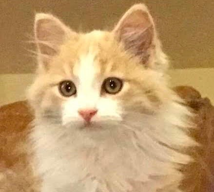 [picture of Leo, a Maine Coon-x ginger/white\ cat]