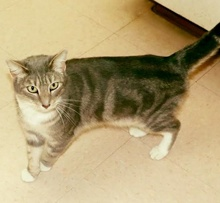[picture of James, a Oriental Short Hair Mix silver marble\ cat]