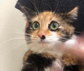 A picture of #ET03327: Gypsy Rose a Domestic Long Hair calico