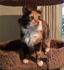 [another picture of Gypsy Rose, a Domestic Long Hair calico\ cat]
