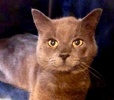 A picture of #ET03330: Ginjo a Russian Blue Mix blue