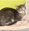 A picture of #ET03331: Westin a Domestic Short Hair blue tabby