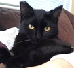 A picture of #ET03332: Molly a Domestic Medium Hair black