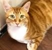 A picture of #ET03333: Archer a Domestic Short Hair orange marble/white