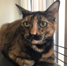 [picture of Roshi, a Domestic Short Hair tortie\ cat]