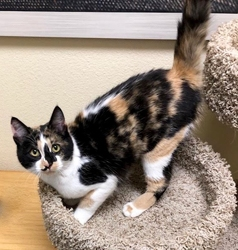 [picture of Jovanna, a Domestic Medium Hair calico cat]