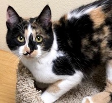 [picture of Jovanna, a Domestic Medium Hair calico\ cat]
