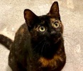 A picture of #ET03336: Snuggie a Domestic Short Hair tortie