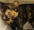 [picture of Snuggie, a Domestic Short Hair tortie cat]
