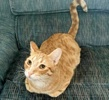 A picture of #ET03339: Captain Kirk a Domestic Short Hair orange
