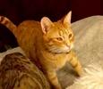 [picture of Captain Kirk, a Domestic Short Hair orange cat]