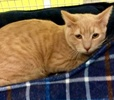 A picture of #ET03340: McCoy a Domestic Short Hair orange