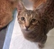 A picture of #ET03341: Sulu a Domestic Short Hair gray tabby