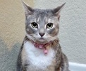 A picture of #ET03342: Luna a Domestic Short Hair dilute calico