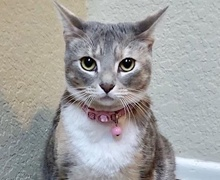 [picture of Luna, a Domestic Short Hair dilute calico\ cat]