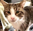 A picture of #ET03343: Peter Rabbit a Domestic Short Hair brown tabby/white