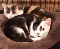 A picture of #ET03344: Eeny a Domestic Short Hair black/white