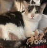 A picture of #ET03345: Beauty a Domestic Short Hair dilute calico