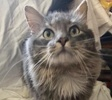 A picture of #ET03346: Artinius a Ragdoll Mix blue tabby