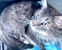 [picture of Artinius, a Maine Coon-x blue tabby cat]