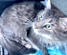 [picture of Artinius, a Maine Coon-x blue tabby\ cat]
