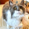 A picture of #ET03347: Bronson a Maine Coon-x blue/white