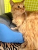 A picture of #ET03348: Carrot a Domestic Medium Hair orange