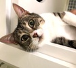 A picture of #ET03349: Tania a Domestic Short Hair brown tabby/white