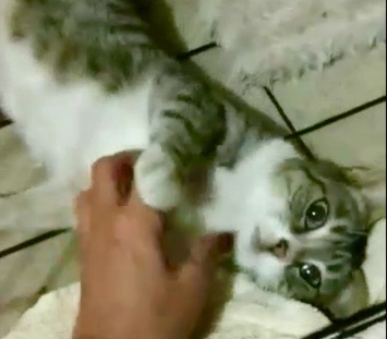 [picture of Tania, a Domestic Short Hair brown tabby/white\ cat]