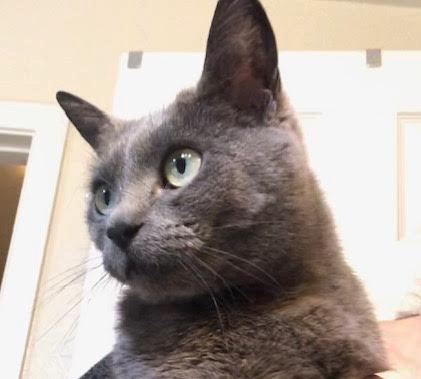 [picture of Zakara, a Russian Blue Mix blue\ cat]