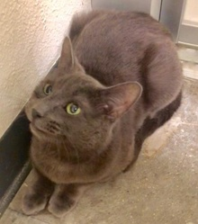 [another picture of Fontana, a Russian Blue Mix blue\ cat]