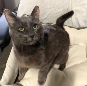 [picture of Fontana, a Russian Blue Mix blue\ cat]