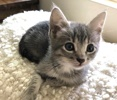 A picture of #ET03356: Mr Justin a Domestic Short Hair blue tabby