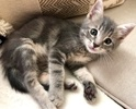 A picture of #ET03357: Albi a Domestic Short Hair blue marble tabby