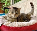 A picture of #ET03360: Thomas a Domestic Short Hair brown tabby/white