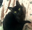 A picture of #ET03366: Princess Panther a Domestic Short Hair black