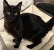A picture of #ET03367: Teddie Beara a Domestic Long Hair black