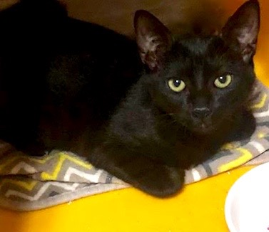 [picture of Sanka, a Domestic Short Hair black\ cat]