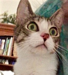 [picture of Maddie, a Domestic Short Hair brown tabby/white\ cat]